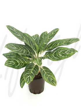 aglaonema green sun