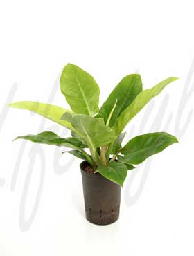 philodendron lemon