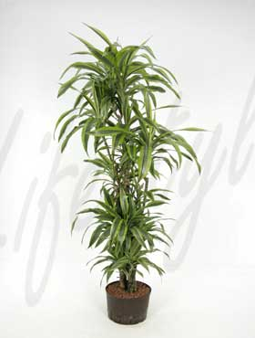 dracaena lemon lime verzw.